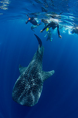 Tourists snorkelling with a whale shark (Rhincodon typus) in Honda Bay, Palawan, The Philippines, Southeast Asia - p871m2122880 by Duncan Murrell