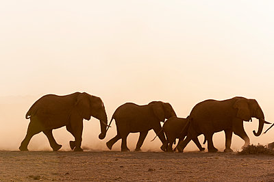 African elephants (Loxodonta africana) and cub, Amboseli National Park, Kenya - p924m2153042 by Delta Images