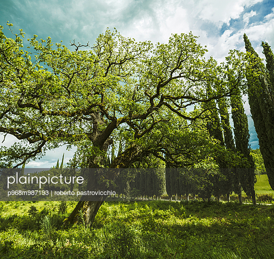 A majestic oak tree in the Tuscan countryside - p968m987193 by roberto pastrovicchio