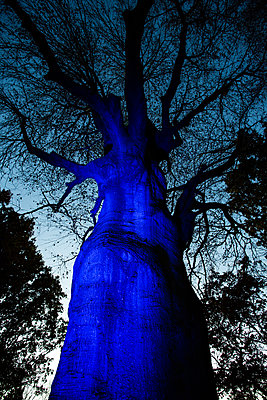 Enormous blue lit tree trunk - p429m1513888 by Stephen Shepherd