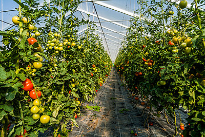 Tomatos in a greenhouse - p867m1031602 by Thomas Degen
