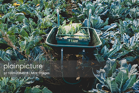 High angle view of plastic crate with freshly harvested cauliflower in a wheelbarrow. - p1100m2084818 by Mint Images