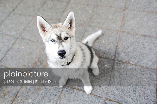 Huskywelpe auf der Straße - p1301m1216494 von Delia Baum