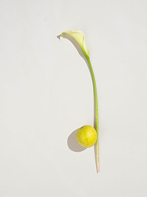 Calla lilly and lemon - p1075m2064255 by jocl