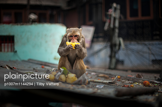 Monkey eating fruits - p1007m1144294 by Tilby Vattard