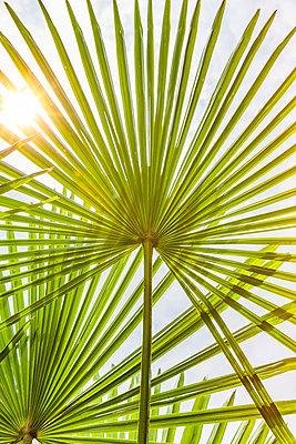 Blätter einer Fächerpalme - p248m2107553 von BY