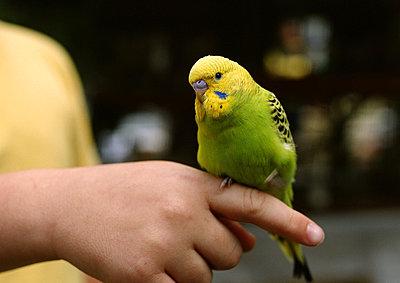 Parakeet being held. - p62316928f by Jean-Louis Aubert