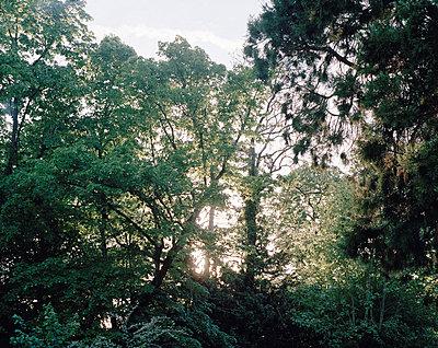 Fallender Baum im Sonnenuntergang - p1409m1465884 von margaret dearing
