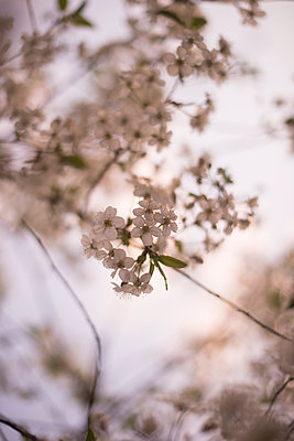 Cherry Blossom - p1323m1158840 by Sarah Toure