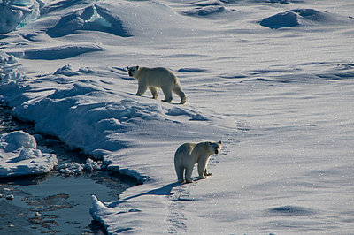 Two polar bears (Ursus maritimus)looking at camera while traversing through sw in rth Pole area - p300m2199480 by Michael Runkel