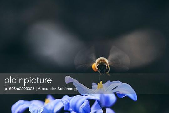 Bee arriving - p1696m2293028 by Alexander Schönberg