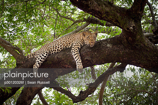 A leopard lying on a tree branch, looking away - p30120326f by Sean Russell