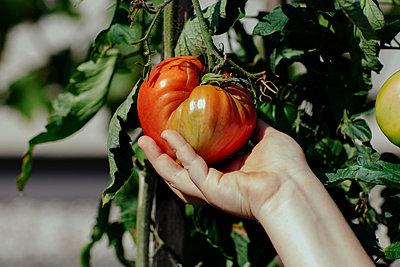 Girl touching ripe tomato in garden - p300m2276113 by Oxana Guryanova