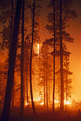 Prescribed fire burning along the ground in ponderosa pine forest - p44210210f by Design Pics