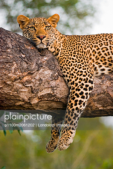 p1100m2061202 von Londolozi Images