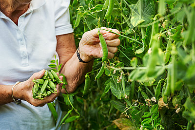 A woman picking pea pods from a green pea plant in a garden.  - p1100m1178022 by Mint Images