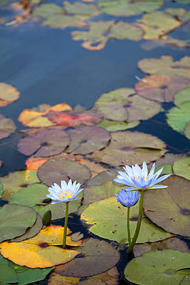 Water Lilies  - p1248m1503216 by miguel sobreira