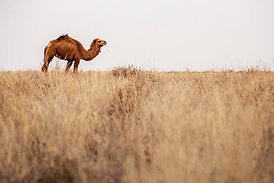 Kamel in der Steppe - p1319m1525339 von Christian A. Werner
