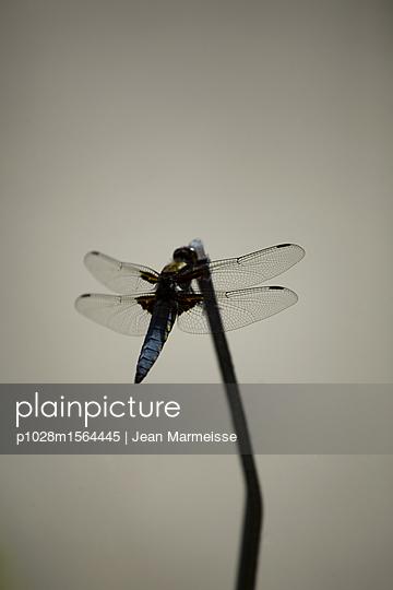 Broad-bodied Chaser dragonfly (Libellula depressa) on a stick, Jardin des Plantes, Paris - p1028m1564445 von Jean Marmeisse