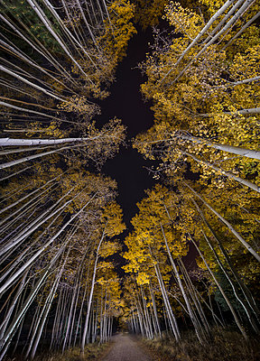 Low angle view of aspen trees growing in forest during night - p1166m1509061 by Cavan Images