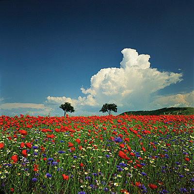 Field of flowers - p844m729025 by Markus Renner