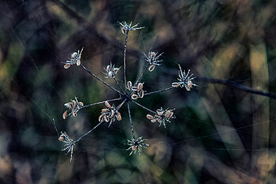 Withered wild flower - p879m2273309 by nico