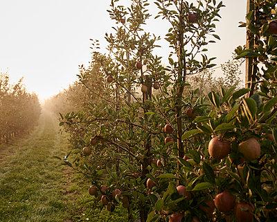 Apfelplantage - p1124m1069645 von Willing-Holtz