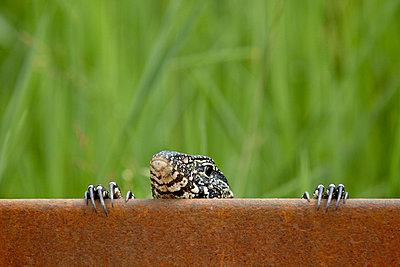 Water monitor (Varanus niloticus) peeking over a bridge - p8714049 by James Hager