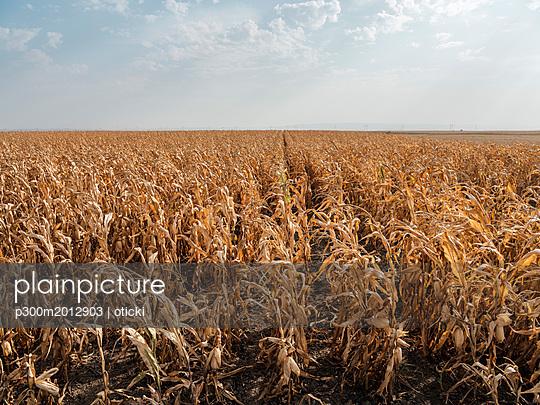 Serbia, Vojvodina, maizefield - p300m2012903 von oticki