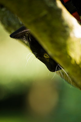 Profile portrait of a young black cat in a tree looking down from between two branches, partial face, striking white whiskers and eyebrows, against a green background. - p1433m1516916 by Wolf Kettler