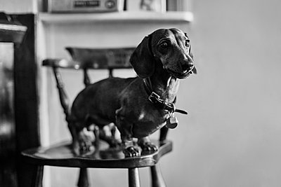 Dachshund - p1090m2143025 by Gavin Withey