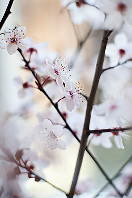 Close-up of cherry blossoms - p301m1406420 by Niels Schubert