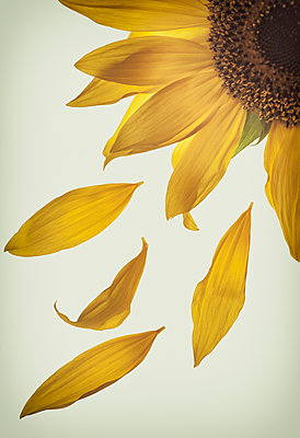 Sunflower - p971m1171757 by Reilika Landen