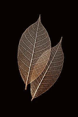 Two skeleton leaves - p971m1190913 by Reilika Landen