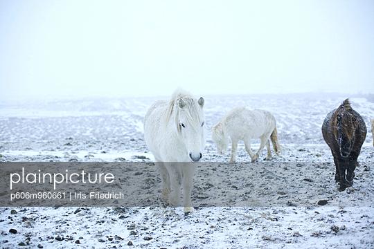Icelandic horses - p606m960661 by Iris Friedrich