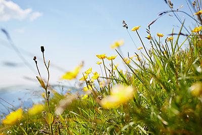 Ranunculus acris - p464m1087097 by Elektrons 08