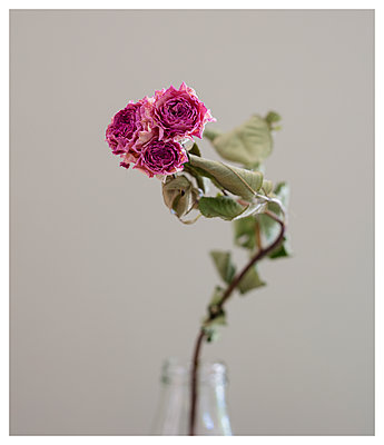 Withered roses - p825m2109578 by Andreas Baum