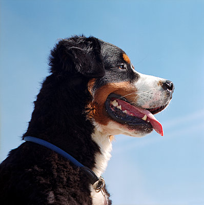 Bernese mountain dog - p545m1071862 by Ulf Philipowski