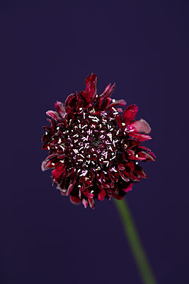 Scabious flower against purple background - p919m2195641 by Beowulf Sheehan