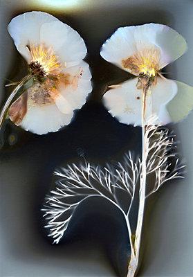 Pressed white flowers - p945m2279945 by aurelia frey