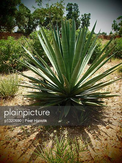 Agave in marrokanischem Garten - p1320590 von Peer Hanslik