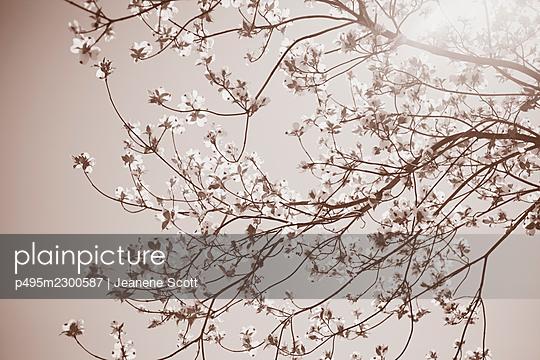 Sepia Dogwood tree - p495m2300587 by Jeanene Scott