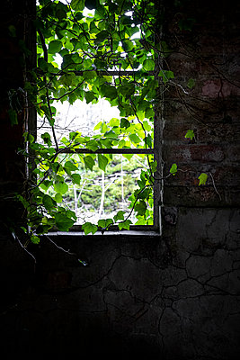 An old run down building, from the dark interior with broken windows ivy growing  - p1057m2151475 by Stephen Shepherd