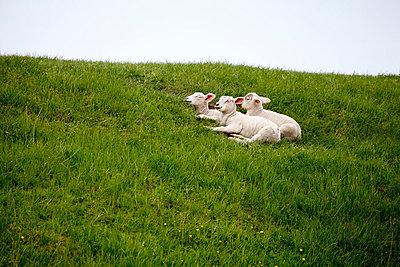 Junge Schafe - p179m831170 von Roland Schneider