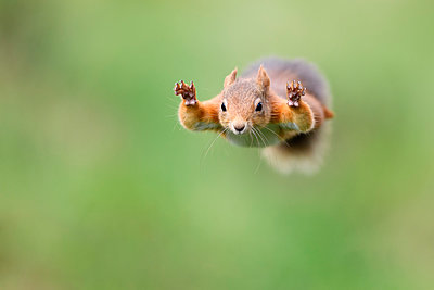 Red Squirrel jumping - p300m2156565 by Mark Johnson