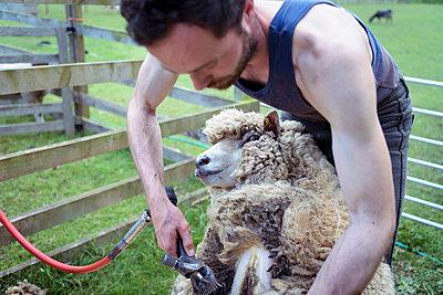 Sheep shearer shearing sheep in pen in field - p924m1480444 by Monty Rakusen