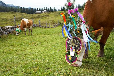 Kühe mit Kopfschmuck - p1205m1018756 von Toni Anzenberger
