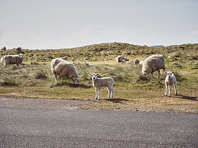 Germany, Sylt, Flock of sheep - p1573m2178930 by Christian Bendel