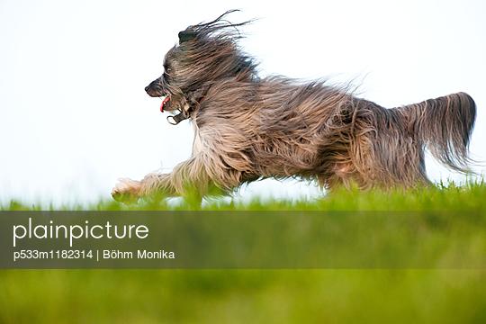 Pyrenäenschäferhund - p533m1182314 von Böhm Monika