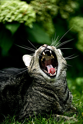 Cat yawns - p1221m1064170 by Frank Lothar Lange